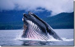 Humpback Whale Feeding in Frederick Sound in Alaska, USA
